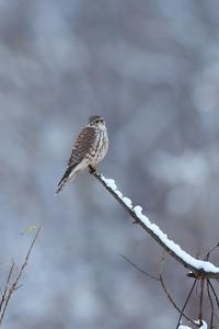 コチョウゲンボウ - きままに鳥見.
