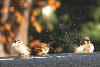 スズメの水浴びと、日比谷公園の紅葉 - 子猫の迷い道Ⅱ