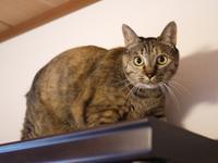 猫のお留守番 テンちゃん編。 - ゆきねこ猫家族