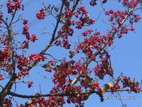 だんだんと殺風景な公園・今回は中でも樹木種の果実を撮ってみました。 - デジカメ散歩悠々