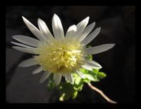 菊の挿し木 - ひだまり●●●陽のあたる場所みつけました