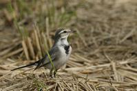 ハクセキレイ - くろせの鳥