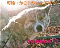 虎毛秋田の女の子たち、優しい里親さん募集中です♪♪ - もももの部屋(怖がりで攻撃性の高い秋田犬のタイガ、老犬雑種のベスの共同生活&保護活動の記録です・・・時々お空のモカも登場!)