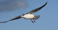 野鳥が飛ぶ姿 - zorbaの野鳥写真と日記