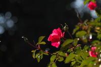 12月の薔薇園 - tokoのblog