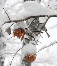今日の庭  雪の日のエナガ達 - シェーンの散歩道