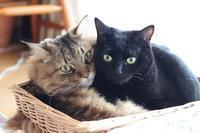 ケンカも多いけど仲良しのきょうだい猫 - きょうだい猫と仲良し暮らし