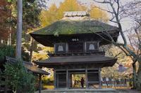 広徳寺の大イチョウ(2009年11月) - ノラくんの世界Ⅱ