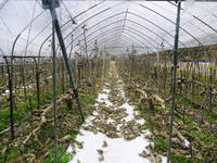 甘熟いちじく本格的な寒さと共に落葉しました!今年は例年より少し遅めのいちじくの落葉2019 - FLCパートナーズストア