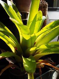 エクメア 'ランボー' #3 - Blog: Living Tropically