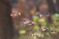 冬の紫陽花 - tokoのblog