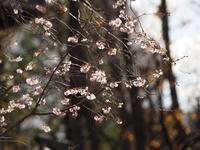 浅草寺境内  寒桜 - エンジェルの画日記・音楽の散歩道