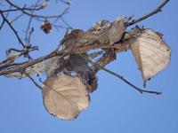 テングチョウの擬態 - 秩父の蝶