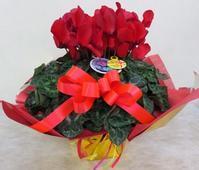 シクラメン - 大阪府茨木市の花屋フラワーショップ花ごころ yomeのブロブ