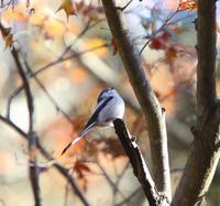冬鳥少ないよー、、 - ぶらり探鳥