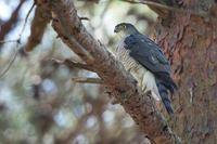 ツミの営巣 - 気ままに野鳥観察