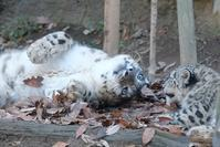 ミミフクのゴロゴロ遊び - 動物園に嵌り中