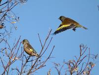冬鳥が少ない、、探鳥しても、、 - ぶらり探鳥