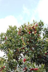 葉書きの木、タラヨウ - 丹馬のきょうの1枚