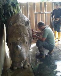 マレーシア最後のスマトラサイのメスが癌と闘病 - クロサイ ブログ ~フウカの種~