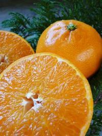 究極の柑橘「せとか」順調に色づき今年もすこぶる順調!初出荷は平成30年の2月上旬の予定です!前編 - FLCパートナーズストア