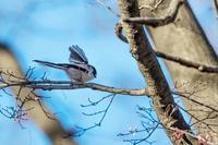 羽を広げたイカル - あだっちゃんの花鳥風月