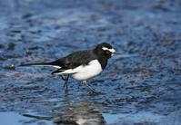 Japanese Wagtail - AVES