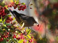 カラムクドリ - Bird Healing