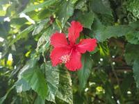 南国イメージのお花ですね🎶 - 神戸布引ハーブ園 ハーブガイド ハーブ花ごよみ