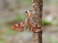 カバシタムクゲエダシャク交尾 - 一寸の虫にも五分の魂