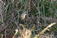 帰省の最後の鳥さんは「タカサゴモズ」さんでした(*^^*) - ケンケン&ミントの鳥撮りLifeⅡ