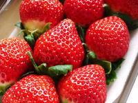 熊本イチゴ『熊紅(ゆうべに)』こだわりの安全で美味しい朝採りいちごを即日発送でお届けします! - FLCパートナーズストア