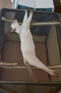 みどちゃんの開き、頂きました。 - タイ猫とお昼寝。