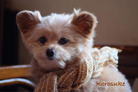 犬用ストール - カンパーニュママの暮らしの雑貨とポメプーころすけと日々の出来事日記