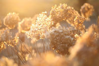 夕日のアナベル - 写真の記憶