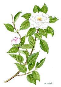白い山茶花 - がちゃぴん秀子の日記