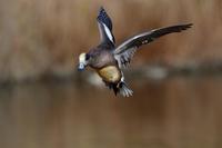 アメリカヒドリのランディング - サンヨン片手に自然散策