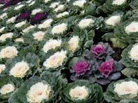 葉っぱの牡丹を花束にして * new year's bouquet for you - ももさへづり*うた暦*Cent Chants d' une Chouette