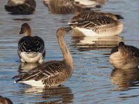 沼の中のオオヒシクイ - コーヒー党の野鳥と自然 パート2
