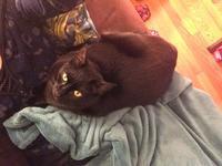 ネコ:やっぱり腹の上 - にゃんこと暮らす・アメリカ・アパート