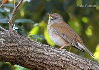 シロハラ:Pale Thrush - 動物園の住人たち写真展