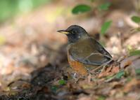 Brown-headed Thrush - AVES