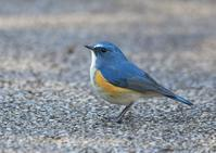 Red-flanked Bluetail - AVES