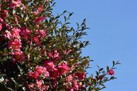 山茶花とメジロ Japanese White-eye staying in Sasanqua - 素人写人 雑草フォト爺のブログ