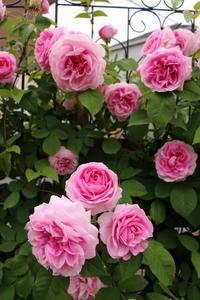 一番好きなバラを誘引 - my small garden~sugar plum~