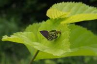 シーズンまでしばらくは蔵出しで - 安曇野の蝶と自然