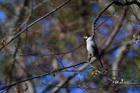公園のイカル - サンヨン片手に自然散策