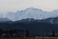 富山散歩~県西部293~白鳥が今冬もやってきた - Tomの一人旅~気のむくまま、足のむくまま~