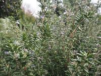 古くから親しまれてきたハーブ「ローズマリー」 - 神戸布引ハーブ園 ハーブガイド ハーブ花ごよみ
