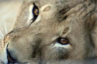 ライオン、トラ、そしてマレーグマ - 動物園放浪記